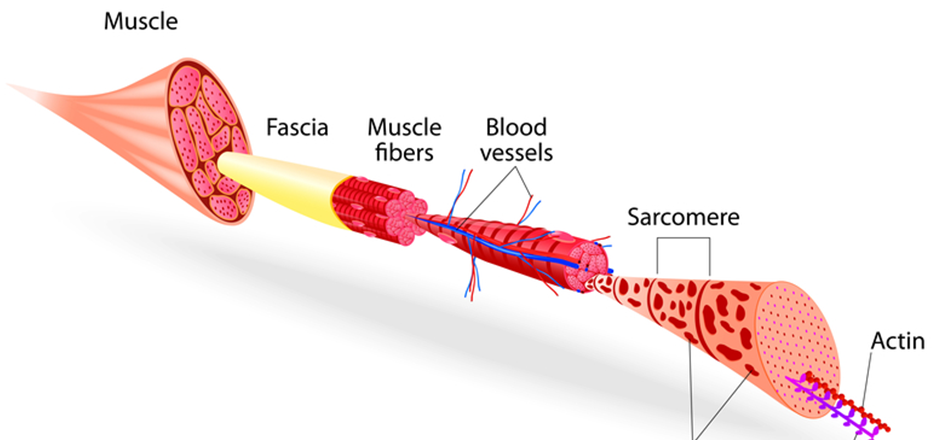 Veliki mišići i penis